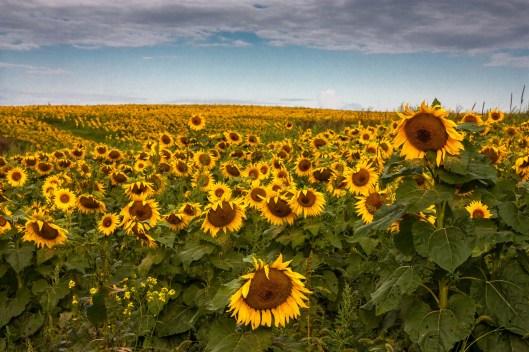 wisconsin-sonnenblumen